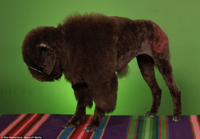 See the Poodle Bison large