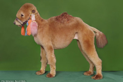 See the Poodle Camel big